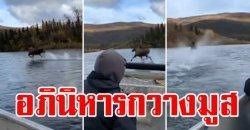 นาทีกวางมูสโชว์ทักษะ วิ่งบนแม่น้ำข้ามไปอีกฝั่ง มนุษย์อ้าปากค้าง
